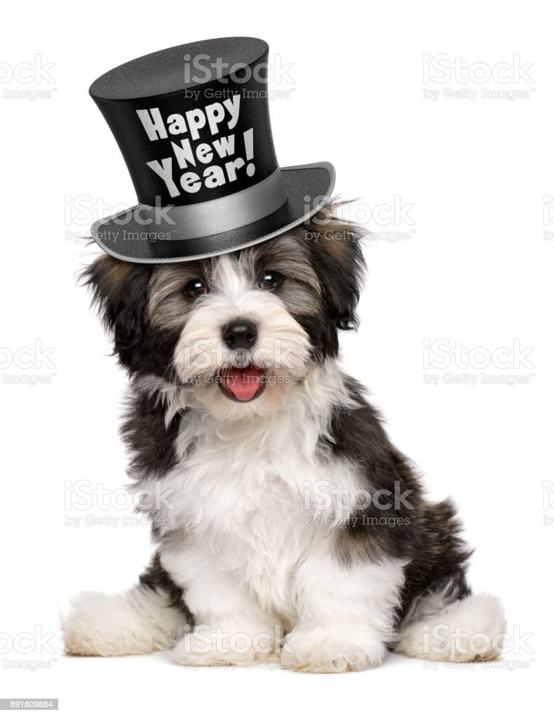 Smiling havanese puppy is wearing a Happy New Year top hat stock photo
