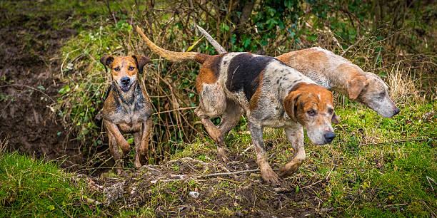 Sonriendo Hound caza - foto de stock