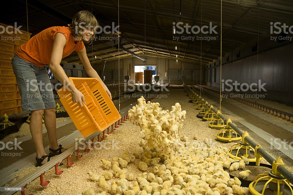 Smiling Laborer Working on a Chicken Farm stock photo