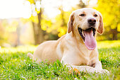 Beautiful labrador retriever dog in the park, sunny day