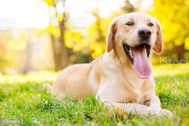 Smiling labrador dog picture id516766620?b=1&k=6&m=516766620&s=612x612&h=9d5xgq0q8tg567 35hzshgmfyl9evfhwdmqosrez1ic=