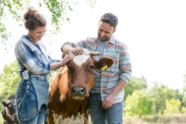 Hombre sonriente y mujer de pie con vaca en la granja - foto de stock
