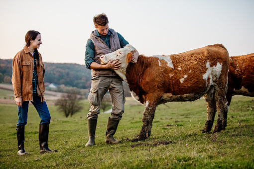 Young woman smiling at man touching cow in field