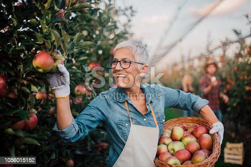 1056015258 istock photo Smiling mature woman picking apples 1056015152