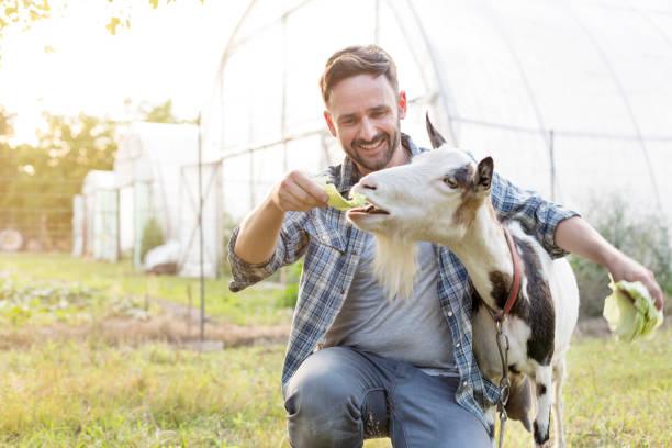 Lächelnde mittlere erwachsene Mann Fütterung Kohl zu Ziege auf dem Bauernhof – Foto