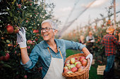 Joyful mature woman picking up apples in the orchard