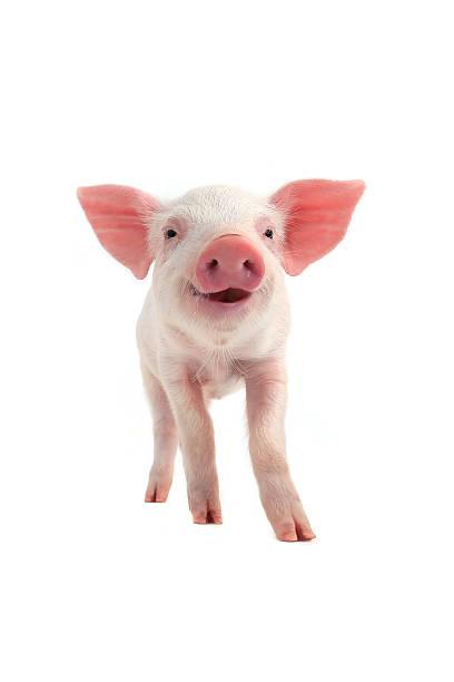 sorriso maiale - maialino foto e immagini stock