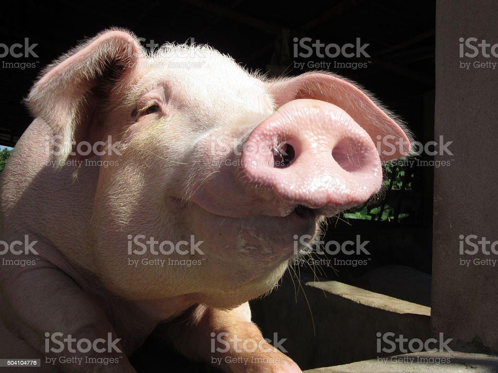 Smiling Pig stock photo