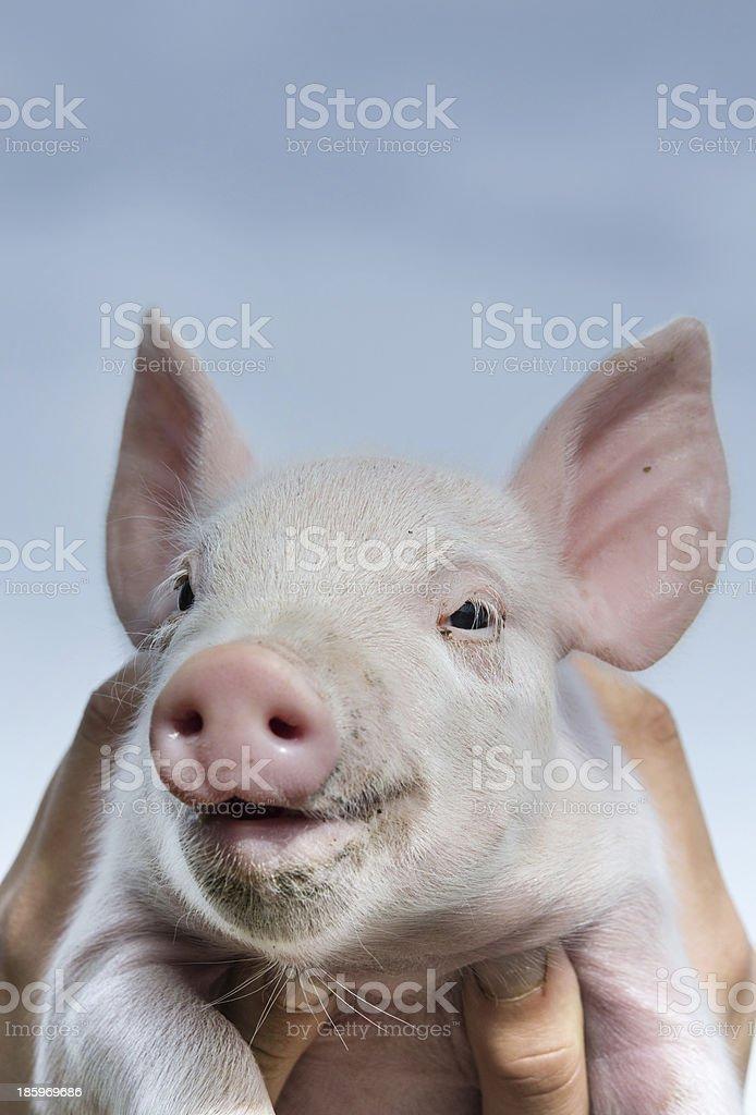 Smiling piglet stock photo