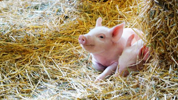 Smiling Pink Piglet in the Hay stock photo