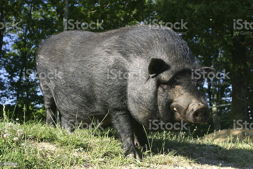 smiling pot bellied pig royalty-free stock photo