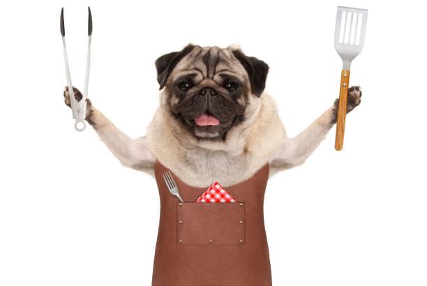lächelnd mops hund trägt grill lederschürze, hält fleisch tong und spachtel - grillschürze stock-fotos und bilder