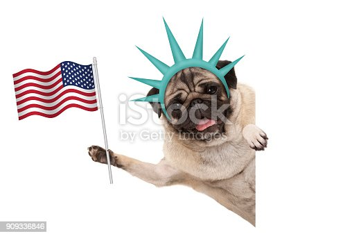 istock smiling pug puppy dog holding up American flag, sideways from white banner, wearing lady Liberty crown 909336846