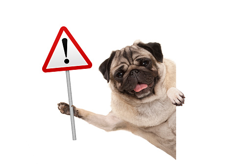 smiling pug puppy dog holding up red warning, attention traffic sign