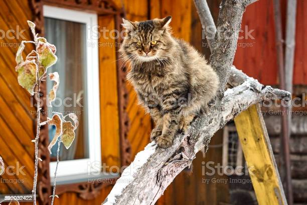 Smiling purebred siberian cat on snow tree picture id892032422?b=1&k=6&m=892032422&s=612x612&h=jyccbvirrjfo koejwj4z4d6h3tyba7 jmeoxt0w4ro=