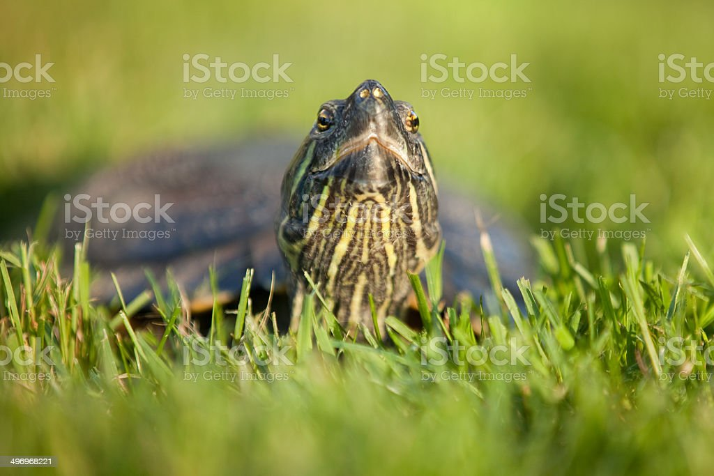 Smiling Red Eared Slider Turtle stock photo