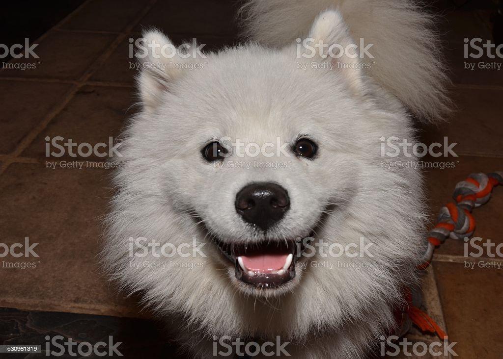 Smiling Samoyed Stock Photo Download Image Now Istock