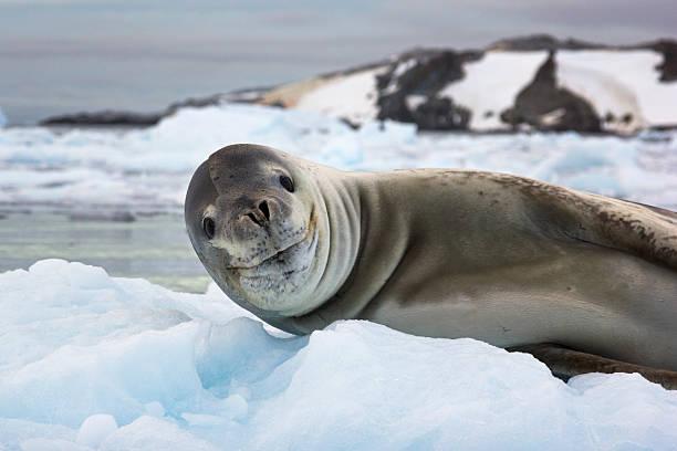 Lächeln sea lion in der Antarktis – Foto