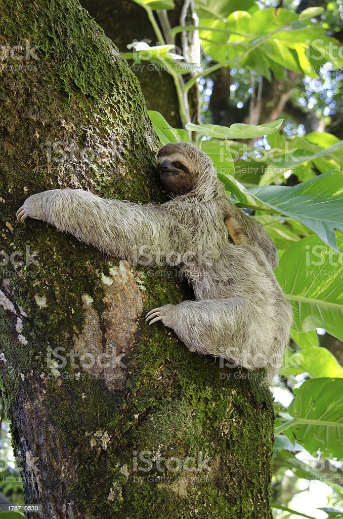 Smiling Sloth Hugs A Tree royalty-free stock photo