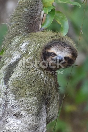 A closeup photo of a three-toed sloth hanging from a tree in a tropical rainforest.  Algae on this slow-moving creature's back gives it a greenish int.