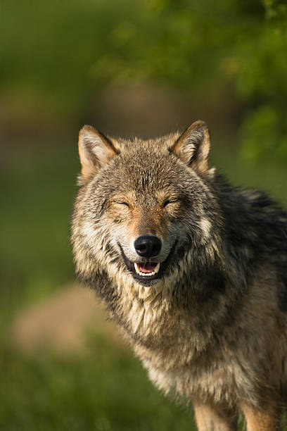 Smiling vertical gray wolf portrait amongst summer foliage. stock photo