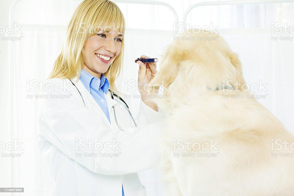 Smiling Vet Doing An Eye Exam to dog. stock photo
