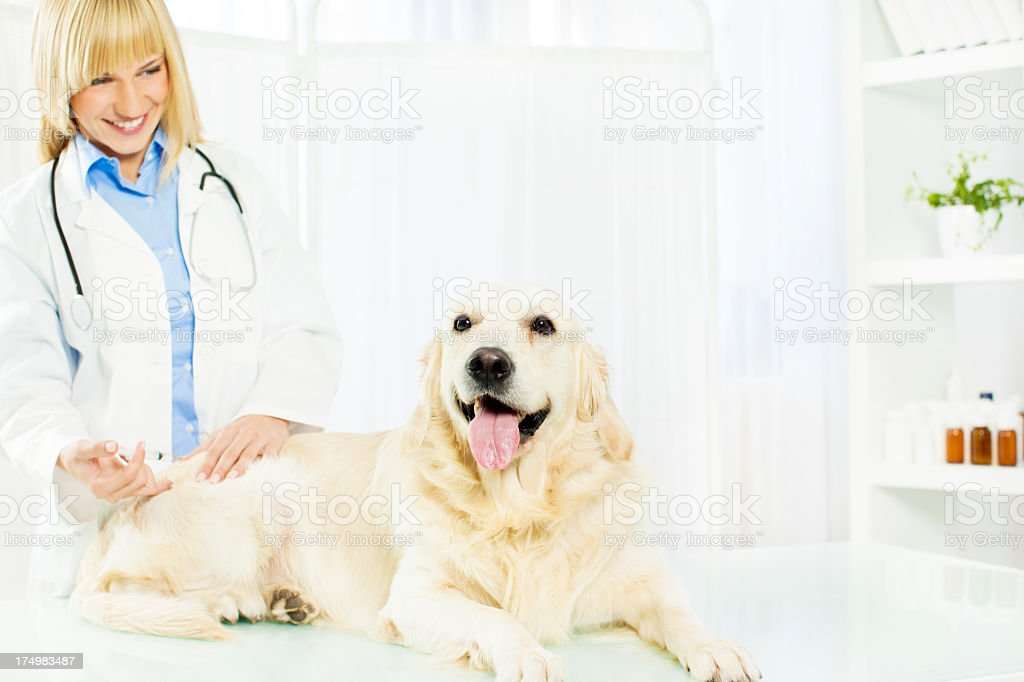 Smiling Vet Giving a vaccine to dog. royalty-free stock photo
