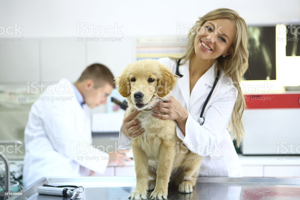 Smiling vet with healthy retriever puppy stock photo