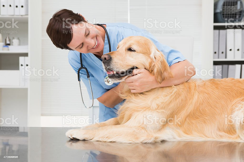 Smiling veterinarian examining a cute golden retriever stock photo