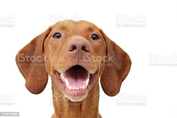 Smiling vizsla picture id519124882?b=1&k=6&m=519124882&s=612x612&h=uuh1ynqv8rj2n4 pxvw glnwavqmjm7xqtuj8cyoqfk=