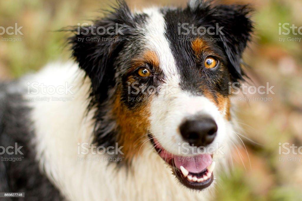 Smiling wet Australian Shepherd headshot stock photo