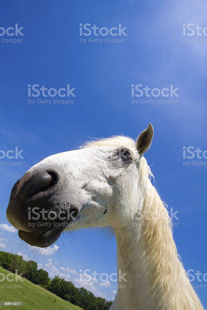 Улыбающаяся белая лошадь Стоковые фото Стоковая фотография