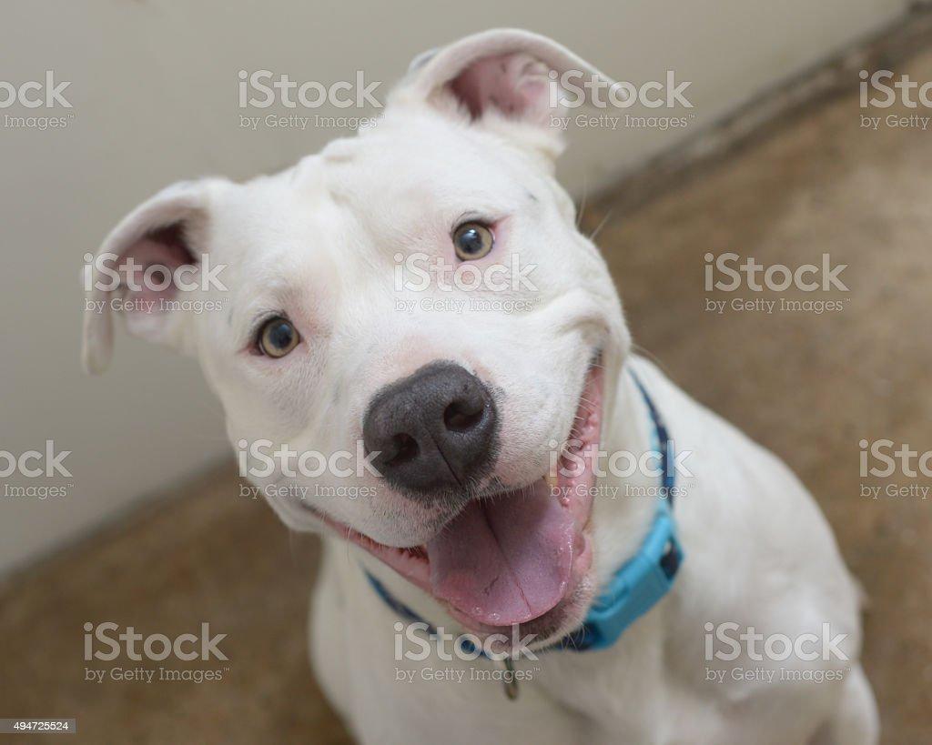 Lächeln weiß Pit Bull – Foto