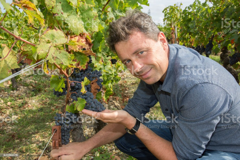 Smiling winegrower is holding his red grape stock photo