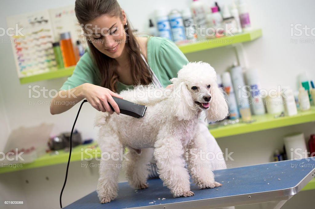 smiling woman haircut white poodle stock photo
