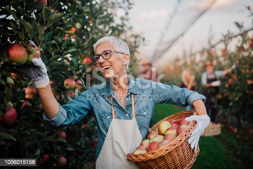 1056015258 istock photo Smiling woman picking apples 1056015158