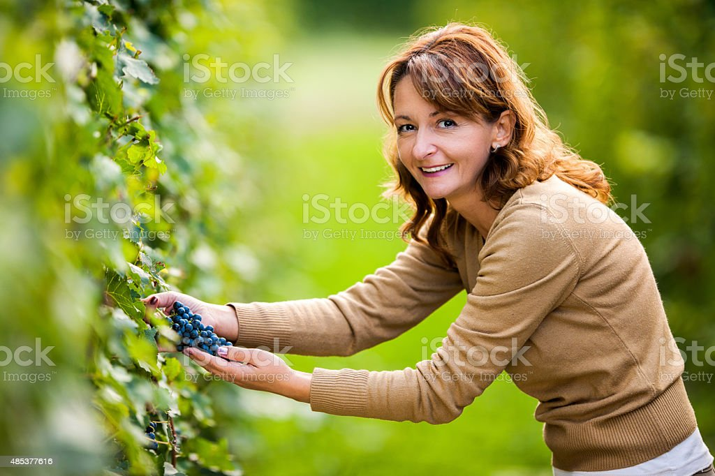 Smiling woman picking grapes in vineyard and looking at camera. stock photo