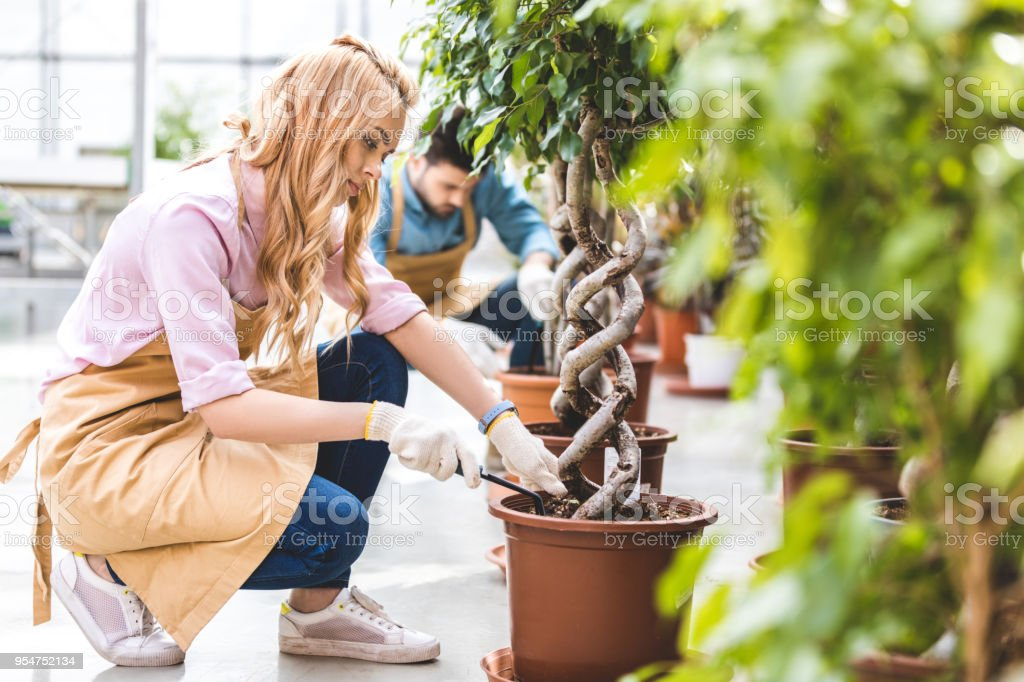 Lächelnde Frau Mit Schaufel Pflanzen Ficus Von Männlichen Gärtner Im ...