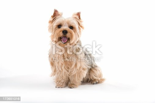 A beautiful Yorkshire terrier smiles for the camera.