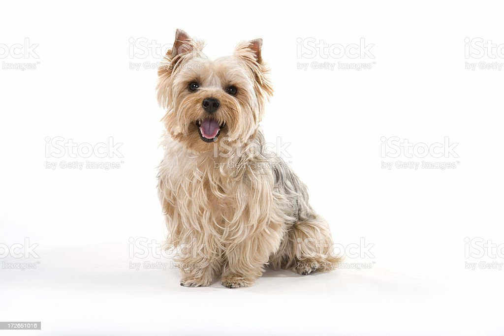 Smiling Yorkshire Terrier stock photo