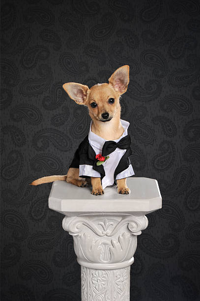 smiling young chihuahua smiling young chihuahua who is wearing tuxedo. studio shot. short haired chihuahua stock pictures, royalty-free photos & images