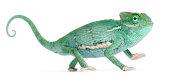 Smiling Young veiled chameleon, Chamaeleo calyptratus