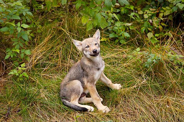 Souriant jeune Loup - Photo