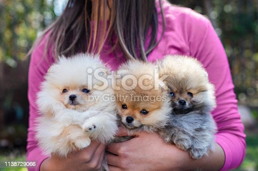 Young woman holding her Pomeranian puppies