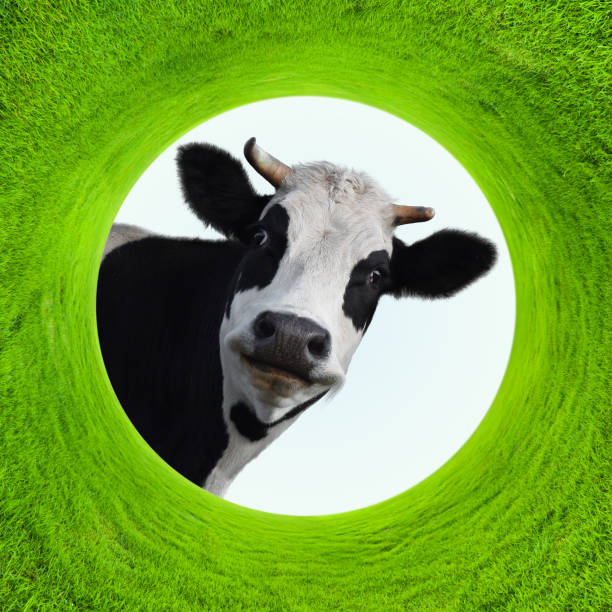 Smilling cow stock photo