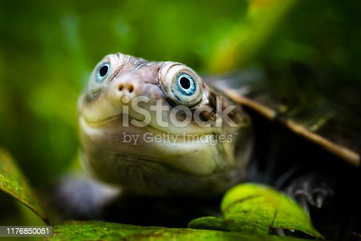 Underwater head shot of young African helmeted turtle with blue eyes. This species is also known as marsh terrapin or African side-necked turtle.