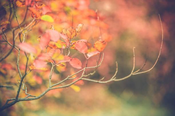 bush mit bunten herbstlaub (rhus cotinus) zu rauchen - perückenstrauch stock-fotos und bilder