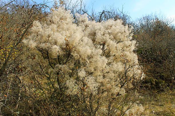 smoke tree (cotinus coggygria scop.) on autumn - perückenstrauch stock-fotos und bilder