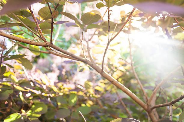 smokebush branch - perückenstrauch stock-fotos und bilder