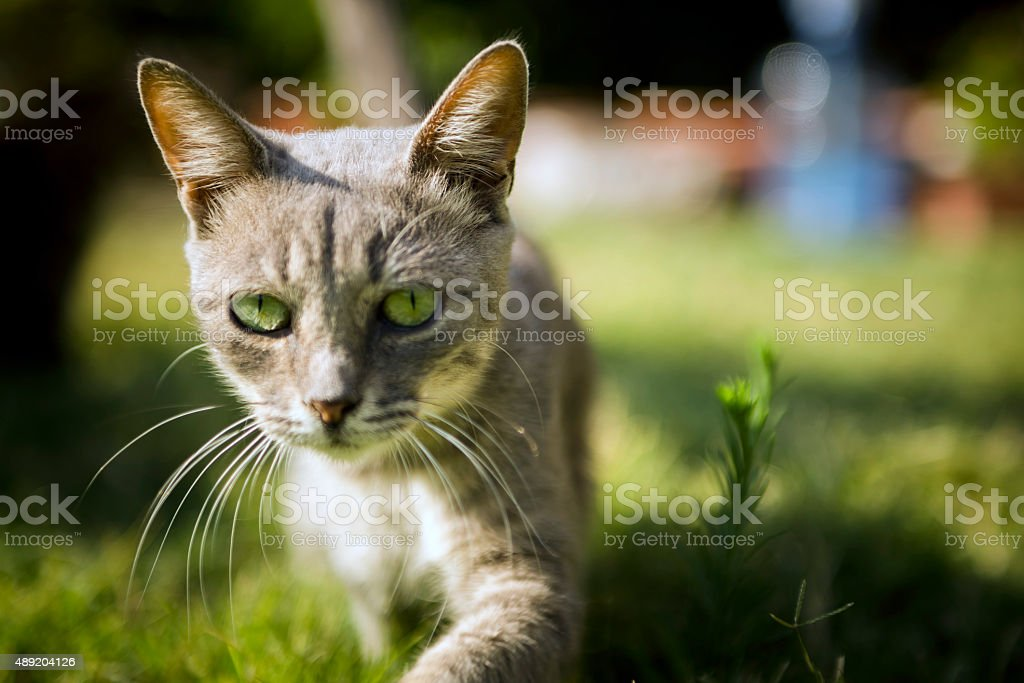 Abyssinian Cat Colours